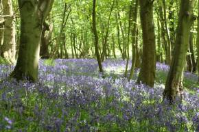 Bluebells on The Wrekin