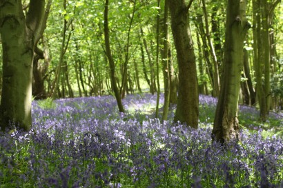 bluebell-woods_1